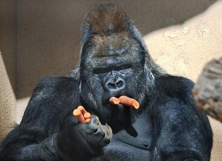 gorilahrana